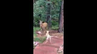 Deer stalking my Black Mouth Cur puppy