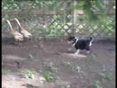 English Shepherd Puppy ' Herding '  Ducks