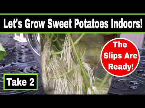 Growing Sweet Potatoes In Pot