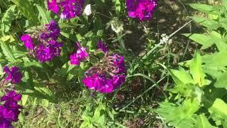 Бабочка Махаон  в моем саду.