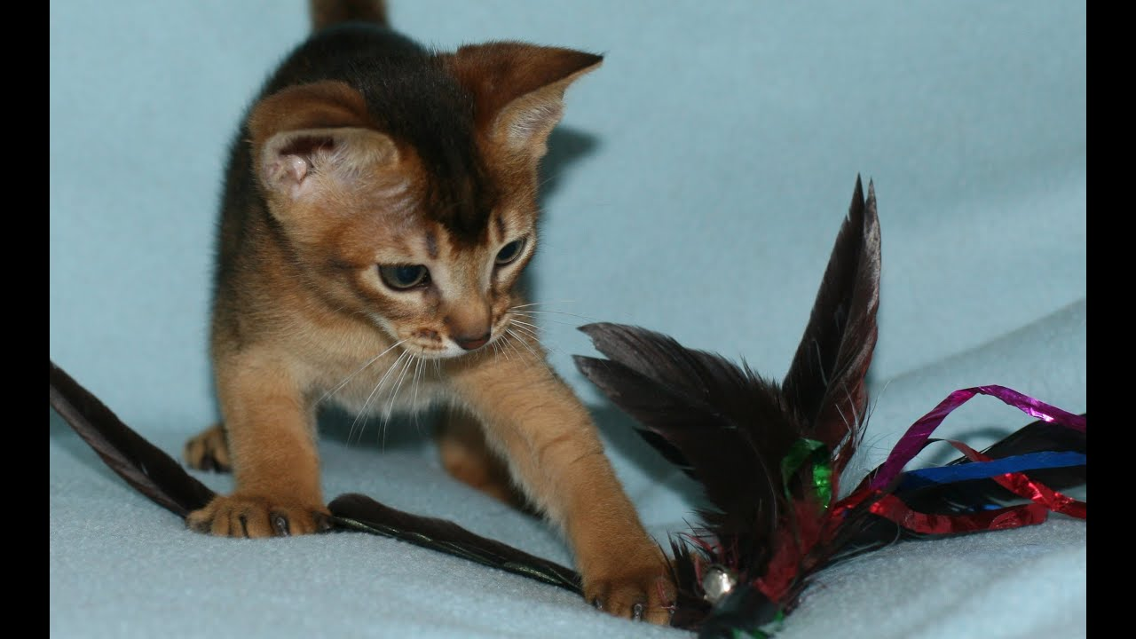 Abyssinian cat kitten – Popular breeds of cats photo blog