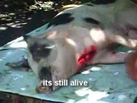 Live! PIG SLAUGHTER!