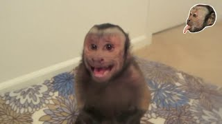 Capuchin Monkey Gets Pissed!