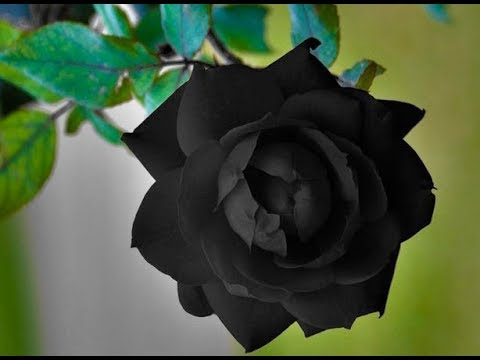 Top 10 Beautiful Flowers Rose Flower Roses Part 1