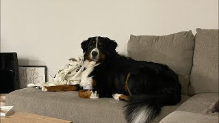 Live with a Bernese mountain dog