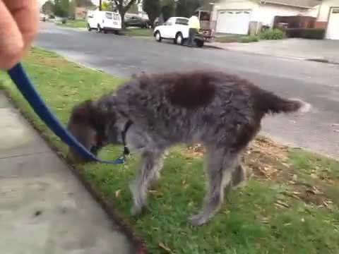 13 year old Wirehaired Pointing Griffon out for a walk