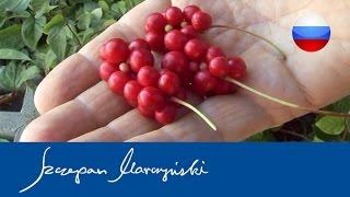 Schisandra chinensis – характеристика и выращивание китайского лимонника(Китайский лимонник это ценное вьющиеся растение, применяется для декорации, но и является потребительским..., 2015-06-02T10:24:20.000Z)