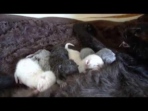 Selkirk Rex kittens!.avi