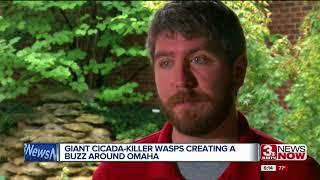 Cicada killer wasps creating a buzz around Omaha
