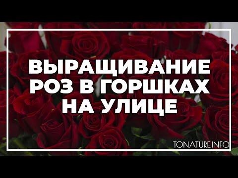 Вопрос: Стоит ли и можно ли выращивать садовую розу дома?