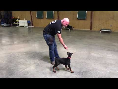 Doberman Puppy Training 'Edge' 10 Wks Protection Dog Sales