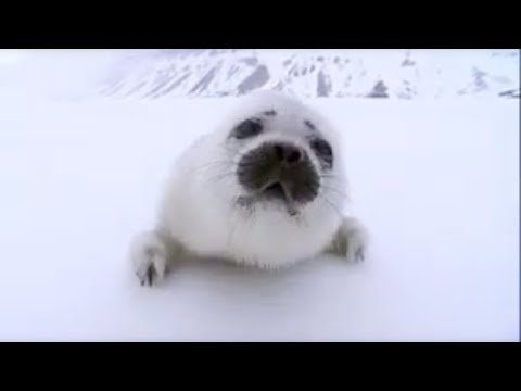 BBC: Search for the Polar Bears – Stranded New Born Seal Pup