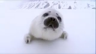 BBC: Search for the Polar Bears - Stranded New Born Seal Pup