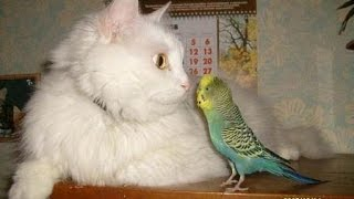 Коты и попугаи дружат   смешное видео