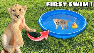 RESCUED BABY LION LEARNS HOW TO SWIM! WHAT HAPPENS ?!