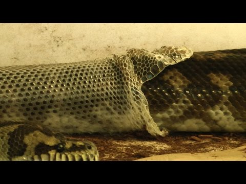Carpet Python Perfect Shed
