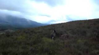German Shorthaired Pointer On A Grouse