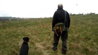 Labrador Training To Whistle Command
