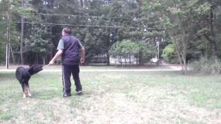 Dog Training: Attention Heeling And Commands In Motion