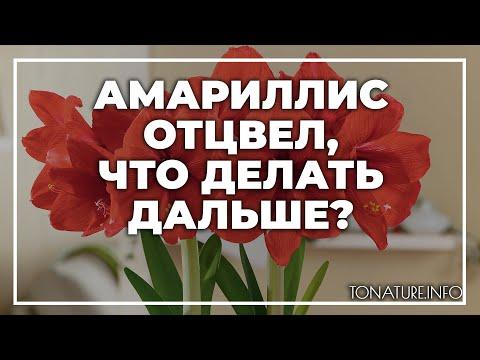 Амариллис отцвел, что делать дальше? | toNature.Info