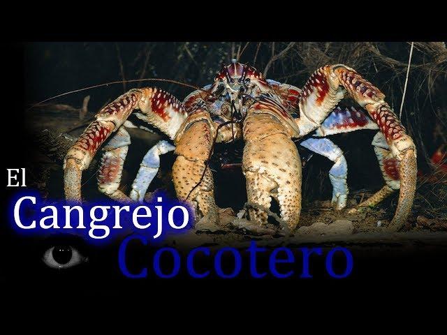 El Cangrejo cocotero: El cangrejo terrestre más grande que existe.