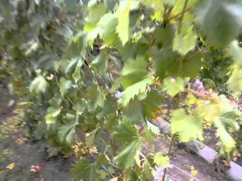 Кишмиш красный туркменский - виноград