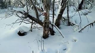 Охота на соболя .  28.11.и  3.12.18 года  Проверка речной юбки.