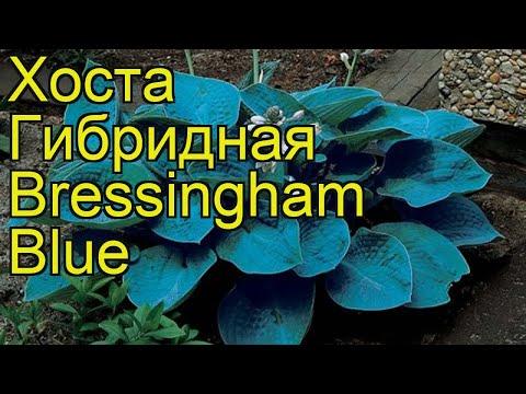 Хоста гибридная Брессингхам Блуе. Краткий обзор, описание hosta hybridum Bressingham Blue