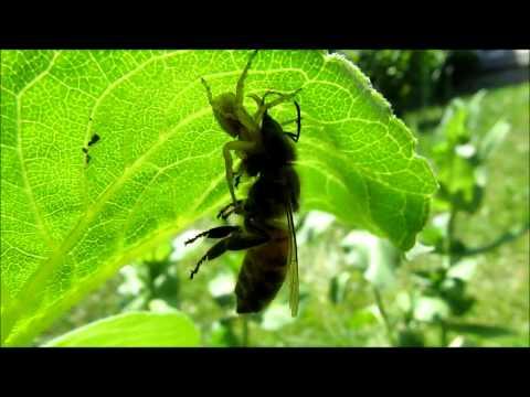 Orb-Weaver Spider Bites Honey Bee