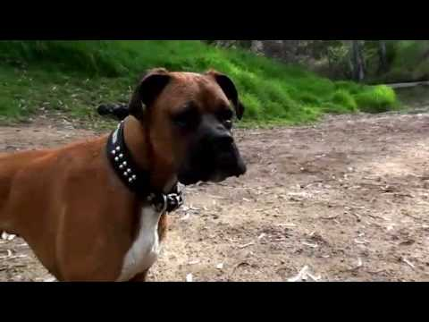 Boxer dog stressing over water bottle in lake