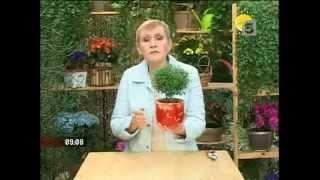 видео Комнатное растение мирт. Уход за миртом,  фото. Цветы мирт: свойства, размножение, сорта.