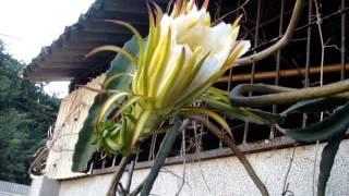 火龍果的花開 花謝 成長 成熟