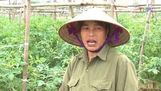 Nhà Nông Làm Giàu: Đồng Thái Phát Triển Cây Cà Chua Trái Vụ