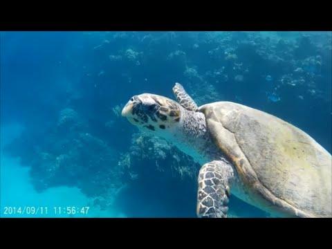 Green Sea Turtle Chelonia Mydas