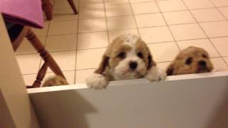 7 weeks old cavoodle puppies greet me when i get home
