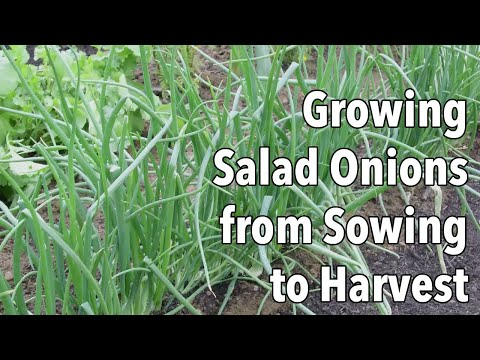 Growing Salad Onions from Sowing to Harvest