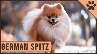 German Spitz  Everything you need to know