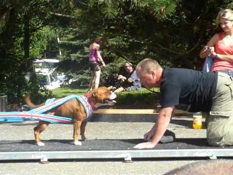 Staffbull Emma Bee Master - weight pull - 1730 kg