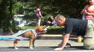 Staffbull Emma Bee Master - Weight Pull - 1730 Kg