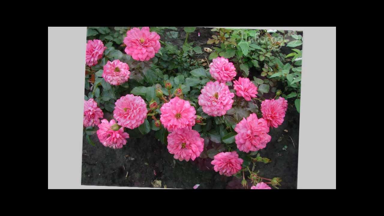 Купить почвопокровные розы в харькове. Почвопокровные розы купить в украине лучше всего в питомнике «розалия». Особенность данной организации заключается в следующем: большой ассортимент;; качественные саженцы;; перед продажей товар проходит проверку;; работают специалисты.