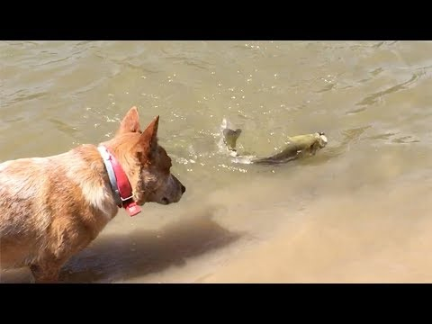 Penny wants fish for dinner | Australian Cattle Dogs
