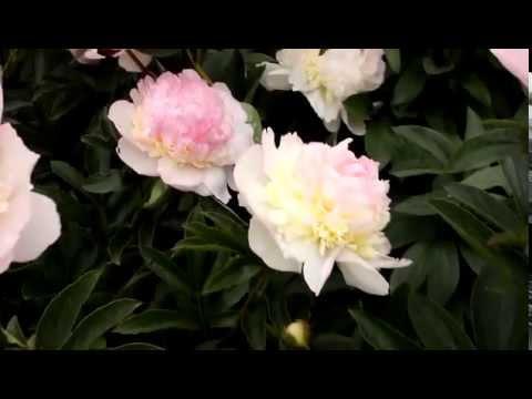 Lactiflora Raspberry Sundae | R2 Flowers BV | Peonies