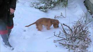 Jasper The English Cocker Spaniel In The Snow