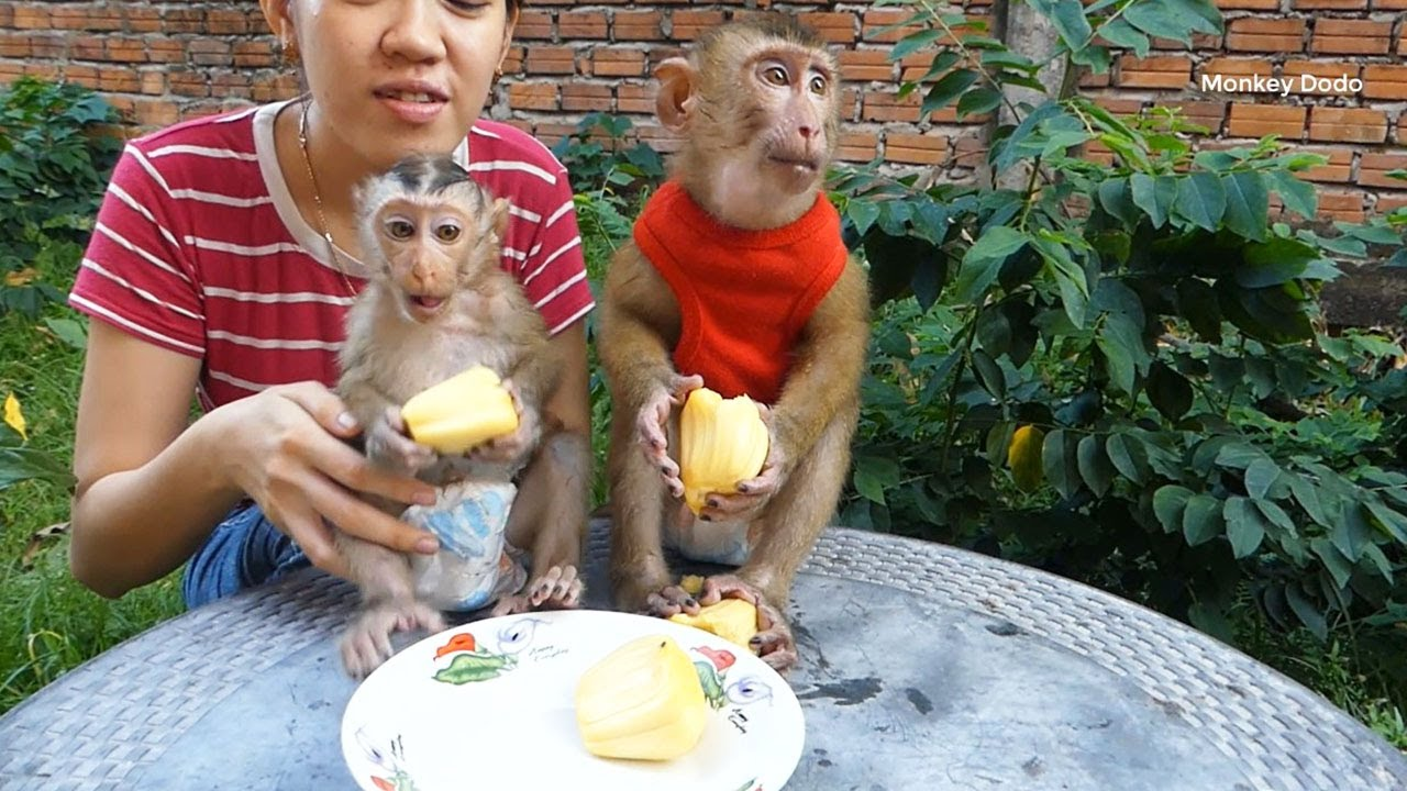 Monkey Dodo Action Likely So Much Hungry When See Jack-fruits