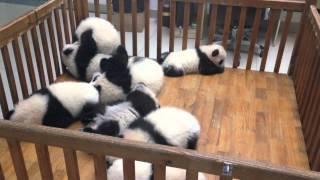Cute Playful Baby Giant Pandas at Chengdu Panda Base in China
