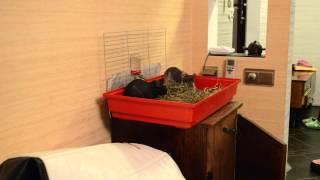 Морские свинки Скинни!(Морские свинки чудные животные. Общительные и умные. Просят вкусняшку и едят из рук. Подсвистывают,