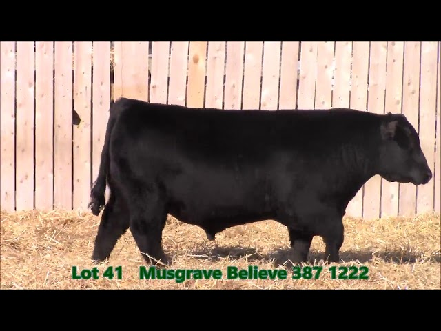Musgrave Angus Lot 41
