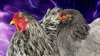 Braahmalott livre V ( les poules et coqs Brahma de Kaamelott)