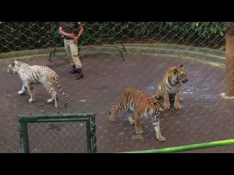Tiger Show Taman Safari Indonesia