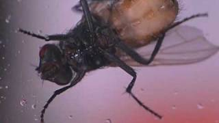 House Fly Biology, Maggots To Adults - Maxforce Video Series